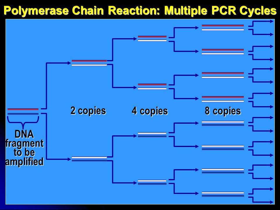 Polymerase Chain Reaction: vantaggi 1)Velocità e facilità duso In poche ore si possono ottenere milioni di copie della sequenza di DNA target 2)Sensibilità Virtualmente è possibile utilizzare il DNA di una singola cellula come template (contaminazione) 3)Robustezza Amplificazione possibile anche utilizzando DNA di bassa qualità