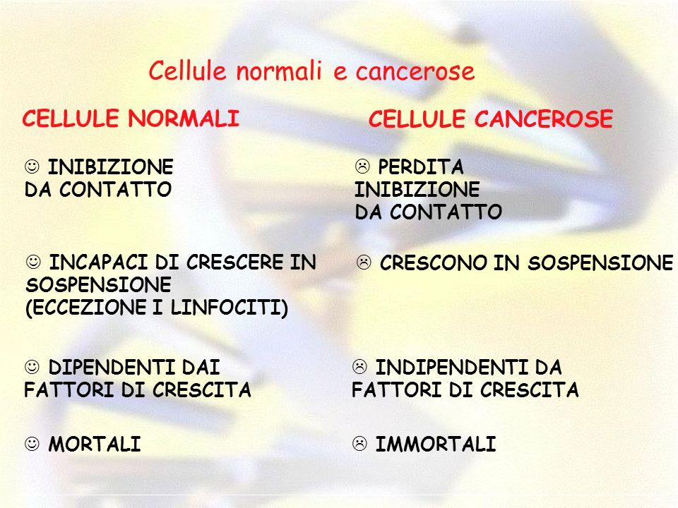 Cellule normali e cancerose CELLULE NORMALI CELLULE CANCEROSE PERDITA INIBIZIONE DA CONTATTO INIBIZIONE DA CONTATTO INCAPACI DI CRESCERE IN SOSPENSION