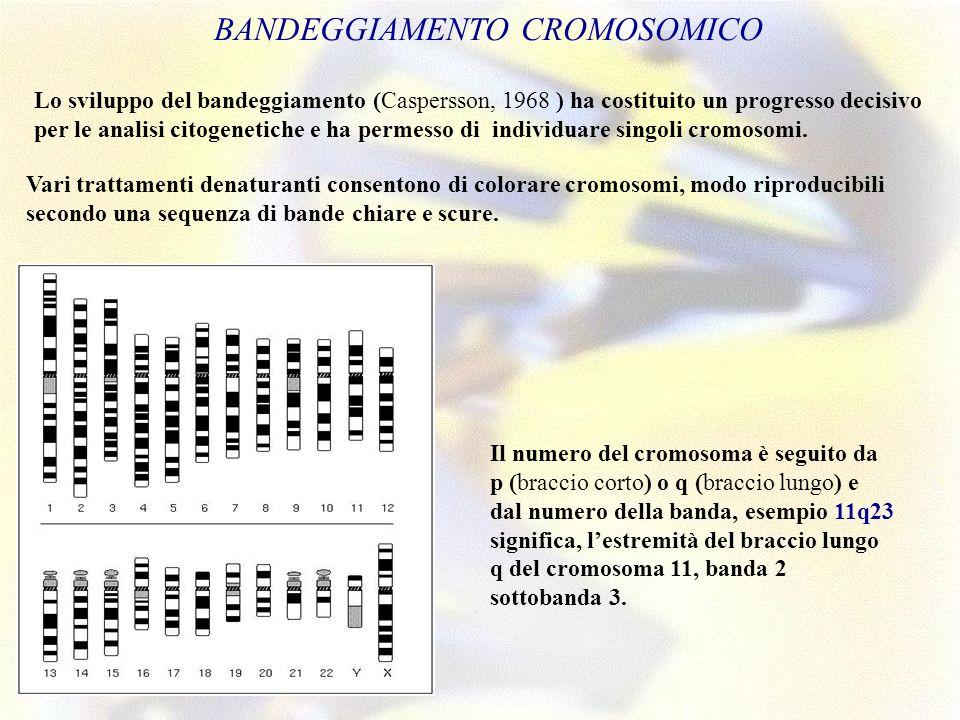 BANDEGGIAMENTO CROMOSOMICO. Lo sviluppo del bandeggiamento (Caspersson, 1968 ) ha costituito un progresso decisivo per le analisi citogenetiche e ha p