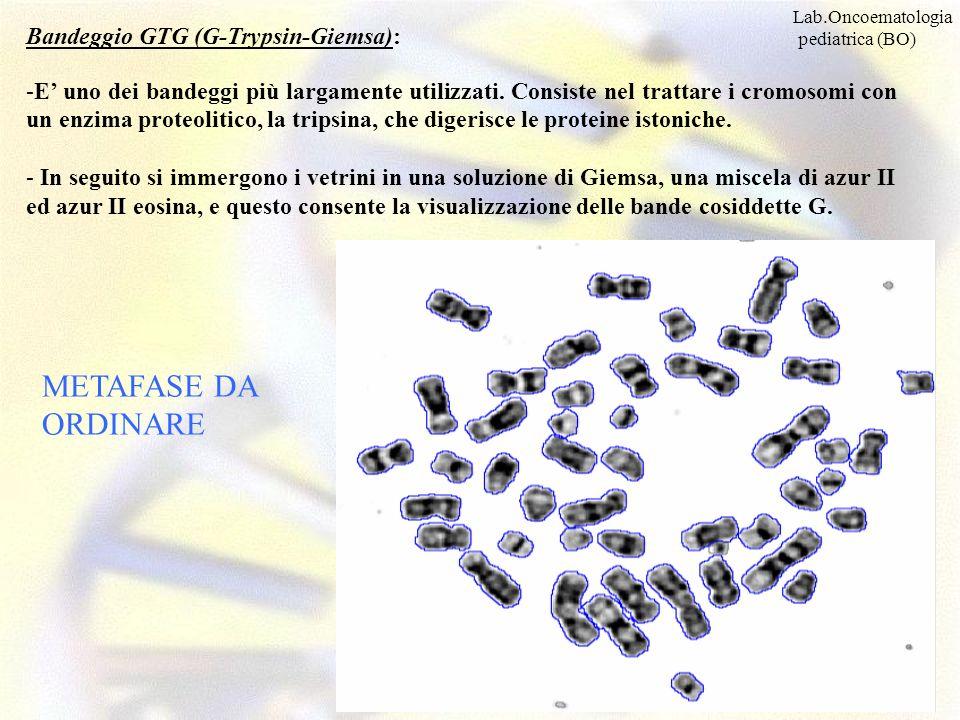 METAFASE DA ORDINARE Bandeggio GTG (G-Trypsin-Giemsa): -E uno dei bandeggi più largamente utilizzati. Consiste nel trattare i cromosomi con un enzima