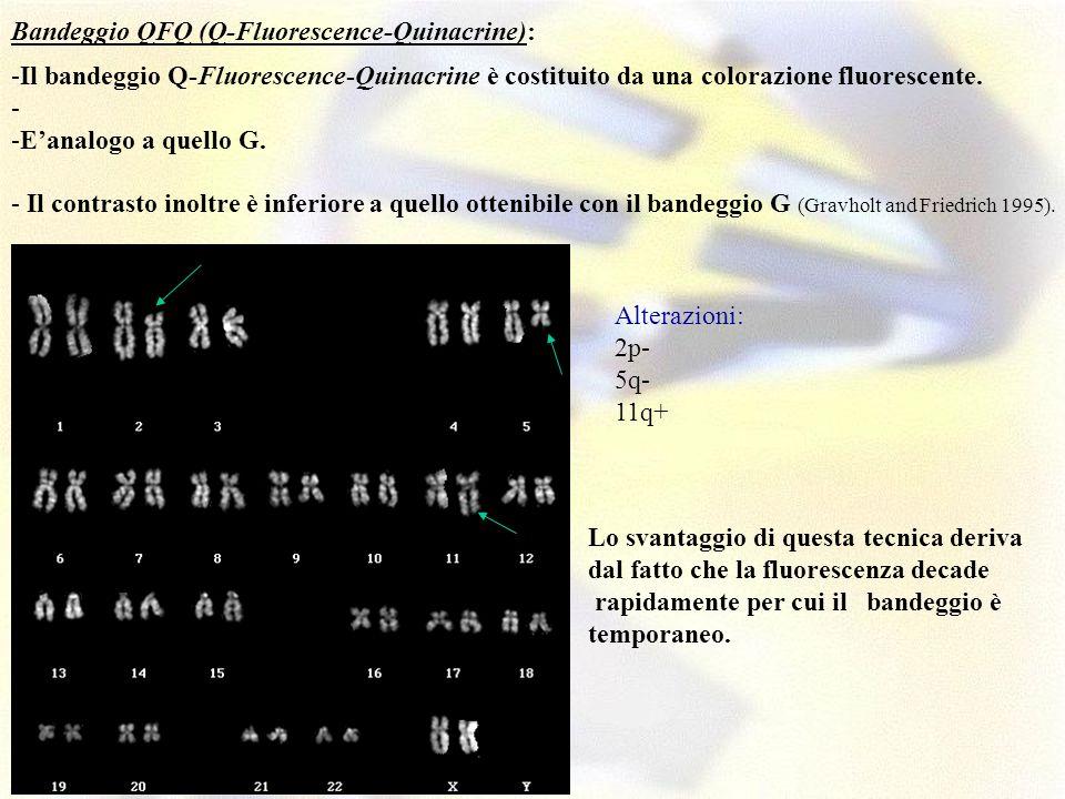 -Il bandeggio Q-Fluorescence-Quinacrine è costituito da una colorazione fluorescente. - -Eanalogo a quello G. - Il contrasto inoltre è inferiore a que