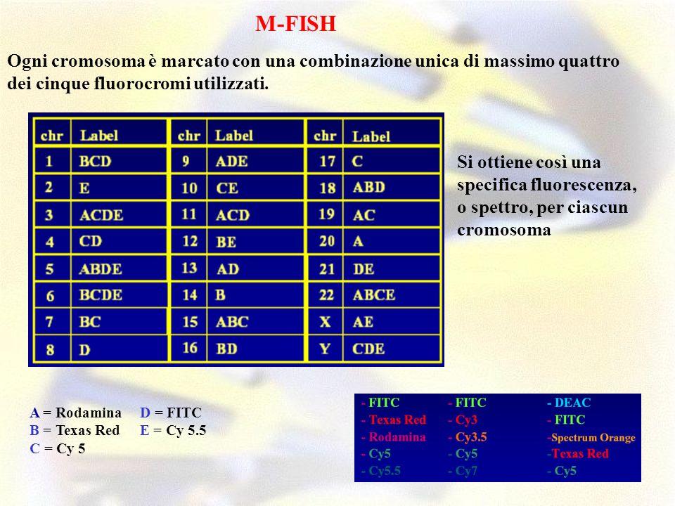 Ogni cromosoma è marcato con una combinazione unica di massimo quattro dei cinque fluorocromi utilizzati. M-FISH A = Rodamina B = Texas Red C = Cy 5 D