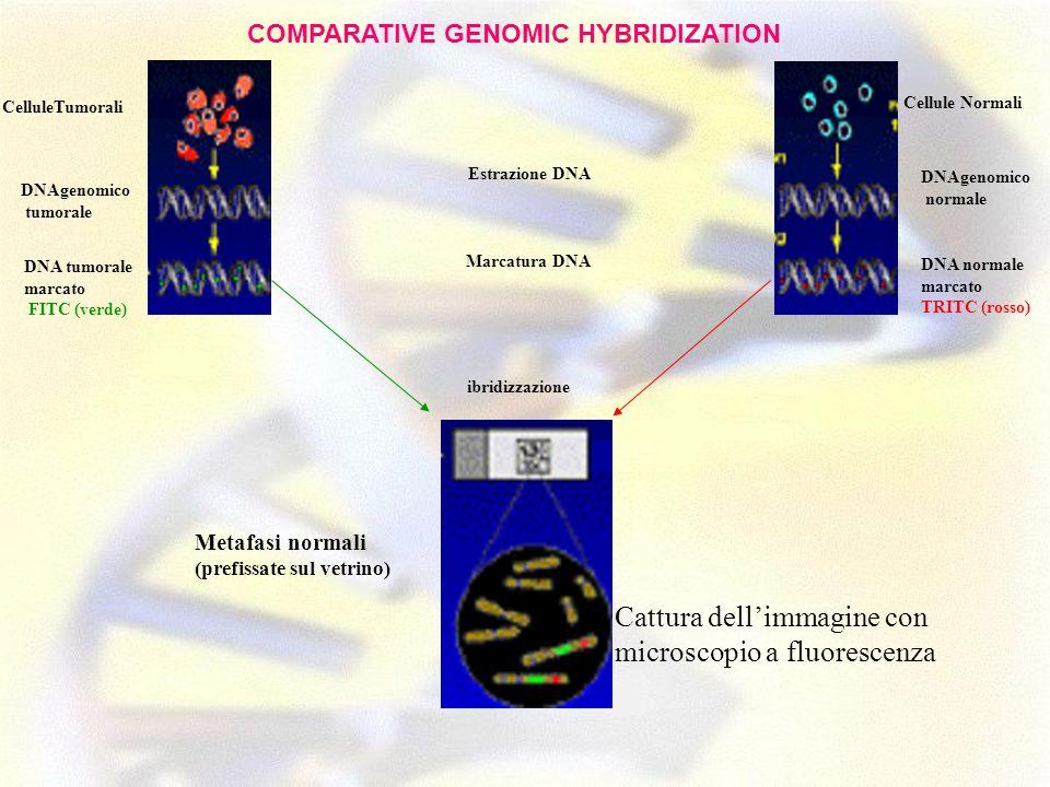 CelluleTumorali Estrazione DNA Marcatura DNA DNAgenomico tumorale DNA tumorale marcato FITC (verde) ibridizzazione Cellule Normali DNAgenomico normale
