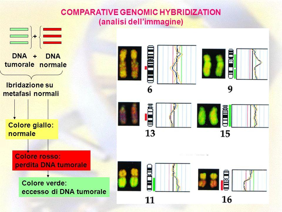 Colore rosso: perdita DNA tumorale DNA tumorale DNA normale + + Ibridazione su metafasi normali Colore giallo: normale Colore verde: eccesso di DNA tu