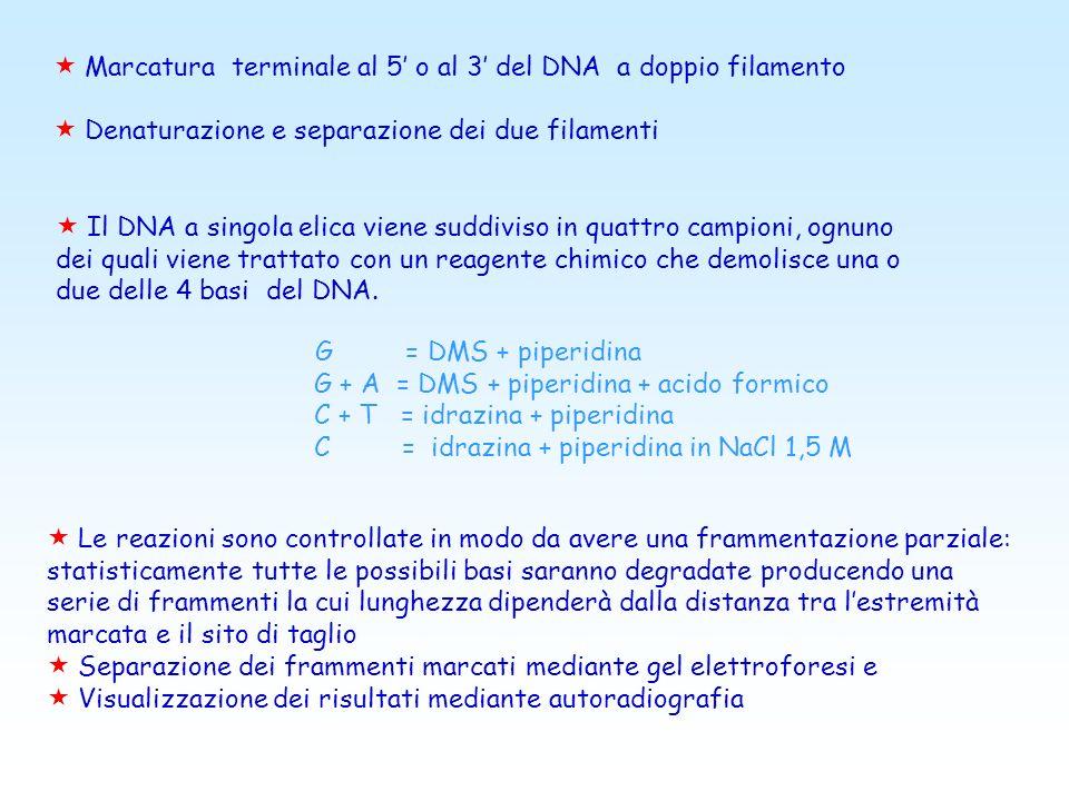 Il metodo Maxam-Gilbert (o metodo di sequenziamento a degradazione chimica) Questo metodo, basato sulla degradazione chimica di frammenti di DNA a dop
