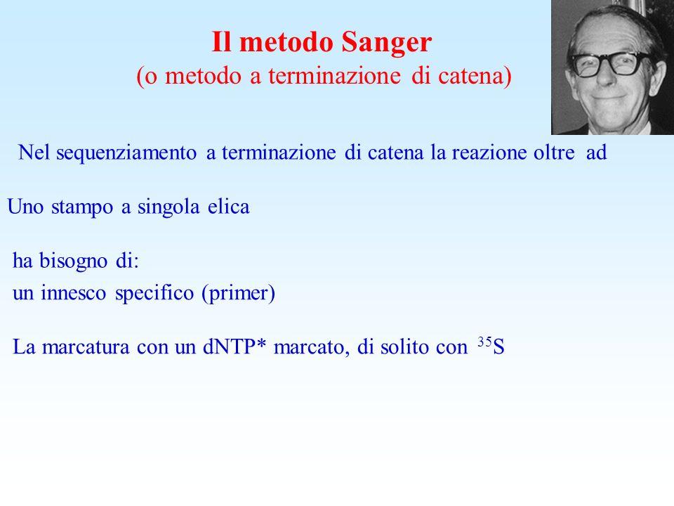 Il metodo Sanger (o metodo a terminazione di catena) Il sequenziamento a terminazione di catena coinvolge la sintesi di nuovi filamenti di DNA, comple