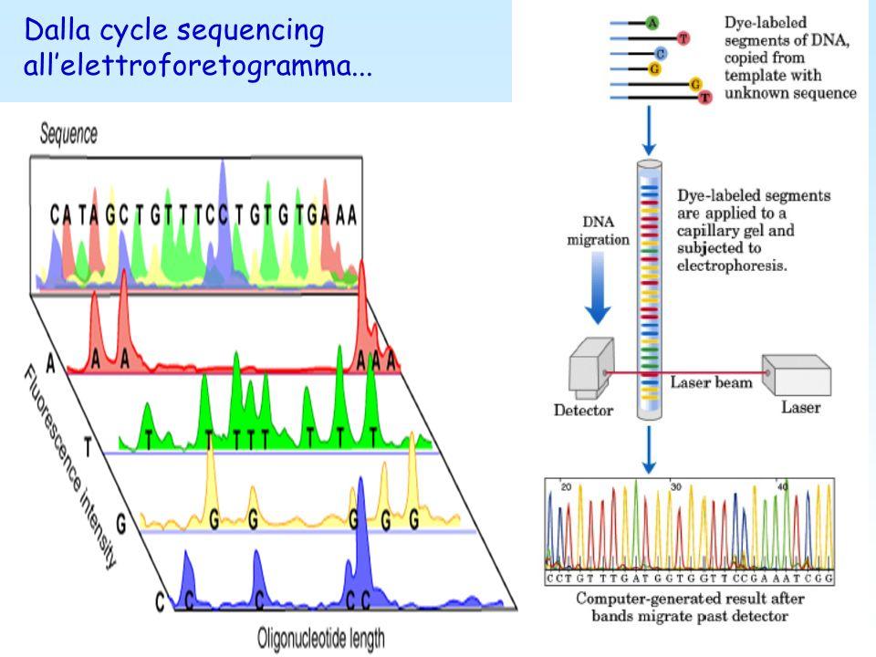 Terminatori BigDye Sistemi a trasferimento di energia a singola molecola, costituiti da accettore e donatore legati da un linker Vantaggi: Segnale omo