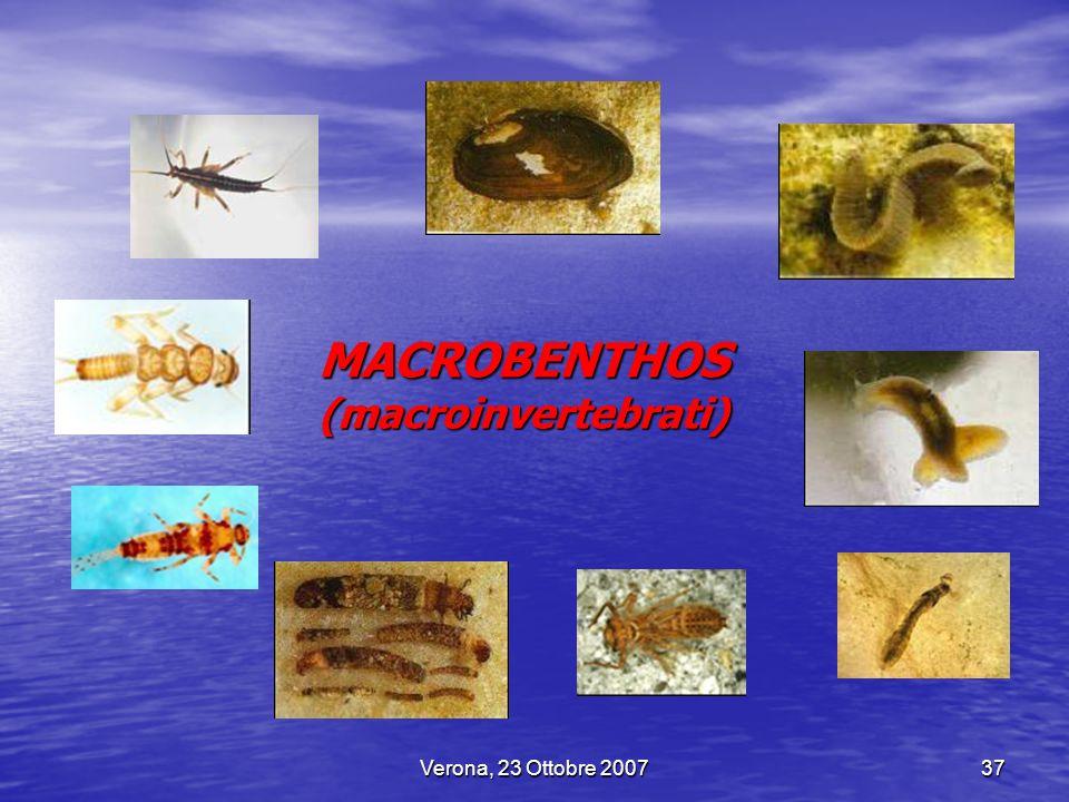 Verona, 23 Ottobre 200737 MACROBENTHOS (macroinvertebrati)