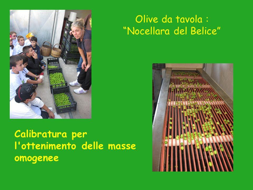 Calibratura per l ottenimento delle masse omogenee Olive da tavola : Nocellara del Belice