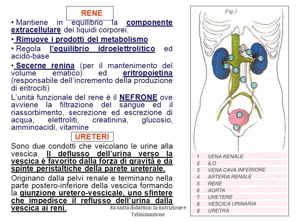 8a unità didattica: la nutrizione e l eliminazione 4 RENE Mantiene in equilibrio la componente extracellulare dei liquidi corporei.