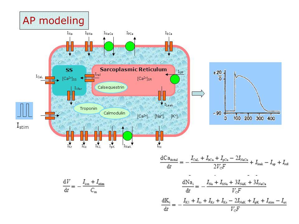 AP modeling Troponin Sarcoplasmic Reticulum Calsequestrin SS Calmodulin I UP I Leak I rel I CaL I Xfer I PCa I NaCa I NaK I Na I bNa I bCa I Kr I Ks I K1 I pK I to [Ca 2+ ] SR [Ca 2+ ] SS [Ca 2+ ] i [Na + ] i [K + ] i I stim