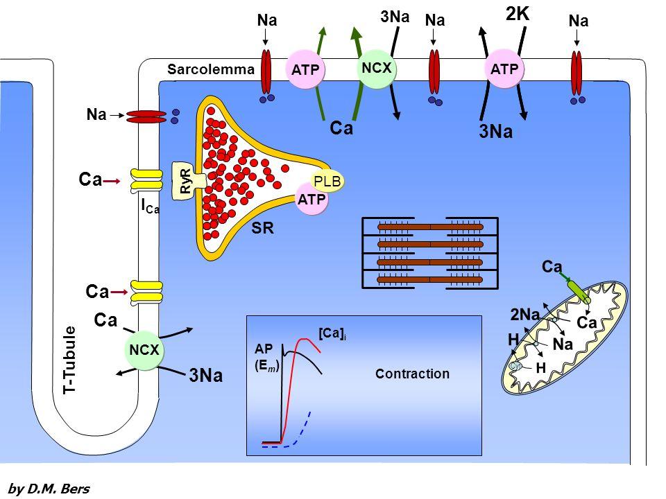 Ca Na H 2Na H Cyt Ca RyR T-Tubule 3Na Ca Na Sarcolemma NCX AP (E m ) [Ca] i Contraction ATP NCX Na 3Na Na 3Na 2K ATP PLB I Ca SR by D.M.