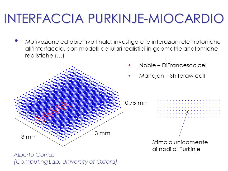 INTERFACCIA PURKINJE-MIOCARDIO Motivazione ed obiettivo finale: investigare le interazioni elettrotoniche allinterfaccia, con modelli cellulari realistici in geometrie anatomiche realistiche (…) Noble – DiFrancesco cell Mahajan – Shiferaw cell Stimolo unicamente ai nodi di Purkinje 3 mm 0.75 mm Alberto Corrias (Computing Lab, University of Oxford)