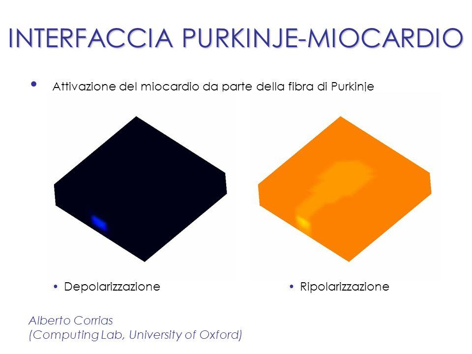 INTERFACCIA PURKINJE-MIOCARDIO Attivazione del miocardio da parte della fibra di Purkinje Alberto Corrias (Computing Lab, University of Oxford) DepolarizzazioneRipolarizzazione