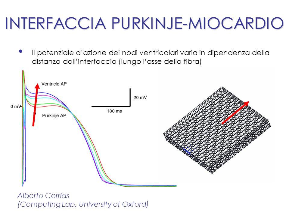 INTERFACCIA PURKINJE-MIOCARDIO Il potenziale dazione dei nodi ventricolari varia in dipendenza della distanza dallinterfaccia (lungo lasse della fibra) Alberto Corrias (Computing Lab, University of Oxford)
