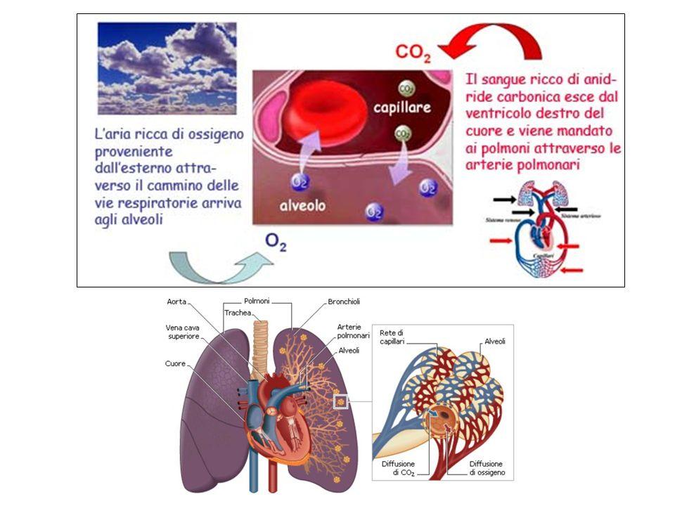 Respirazione interna Le sostanze nutritive per fornirci l energia che contengono, devono essere bruciate attraverso un processo di combustione lenta (ossidazione) che avviene all interno di ogni cellula e si chiama respirazione cellulare.