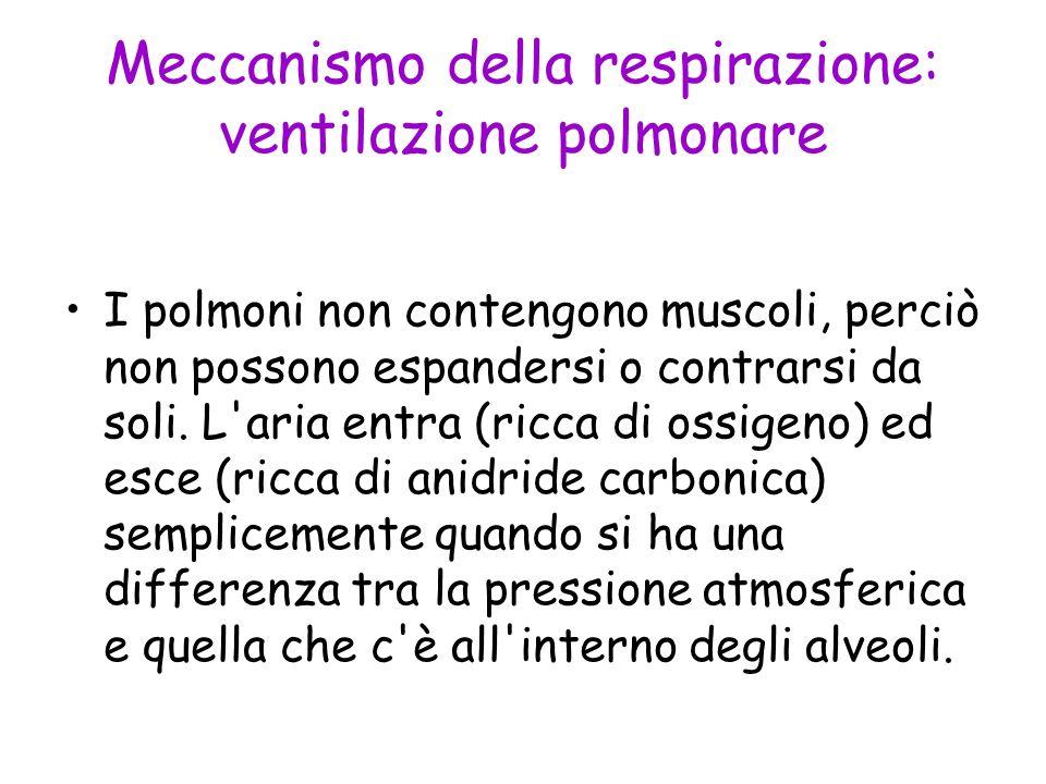 Meccanismo della respirazione: ventilazione polmonare I polmoni non contengono muscoli, perciò non possono espandersi o contrarsi da soli. L'aria entr