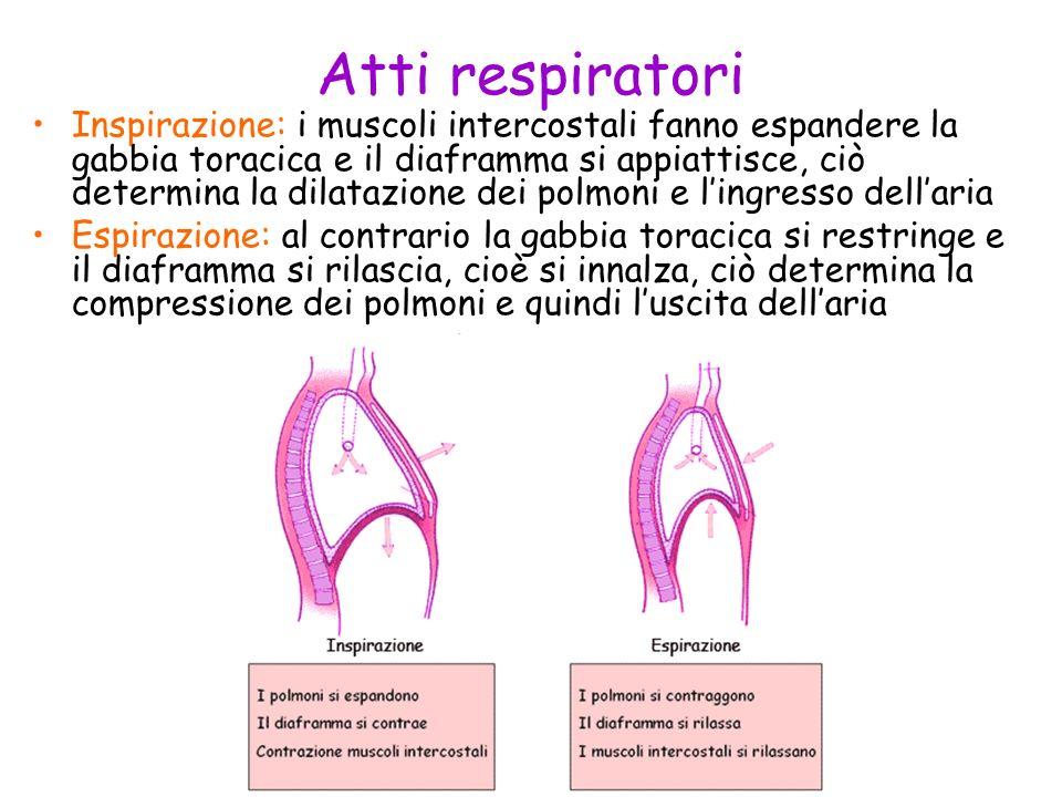 Atti respiratori Inspirazione: i muscoli intercostali fanno espandere la gabbia toracica e il diaframma si appiattisce, ciò determina la dilatazione d