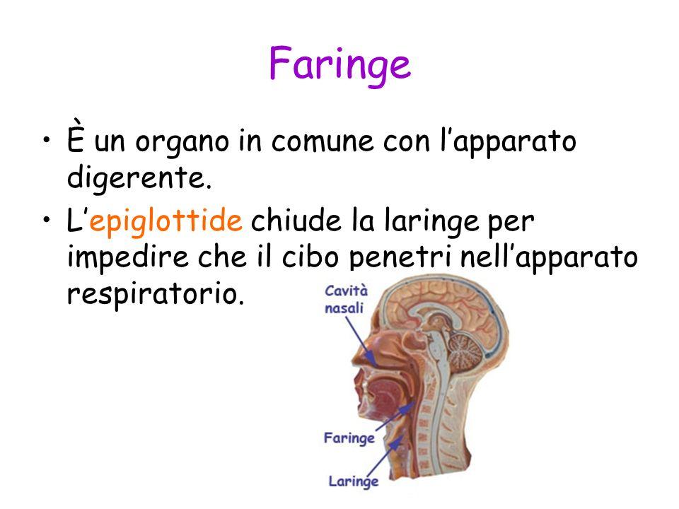 Faringe È un organo in comune con lapparato digerente. Lepiglottide chiude la laringe per impedire che il cibo penetri nellapparato respiratorio.