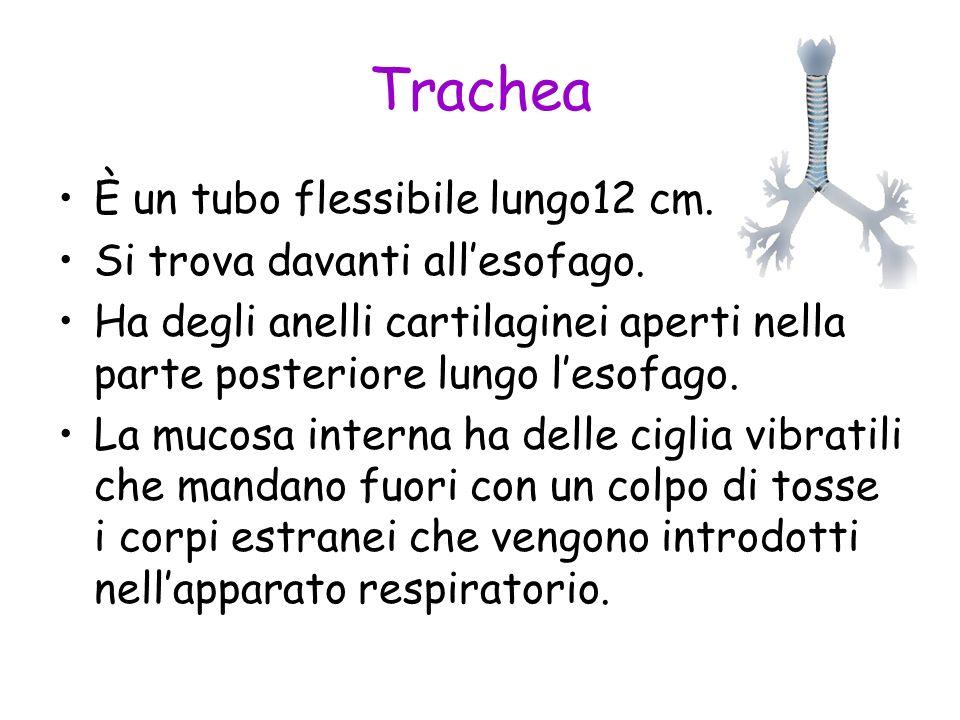 Trachea È un tubo flessibile lungo12 cm. Si trova davanti allesofago. Ha degli anelli cartilaginei aperti nella parte posteriore lungo lesofago. La mu