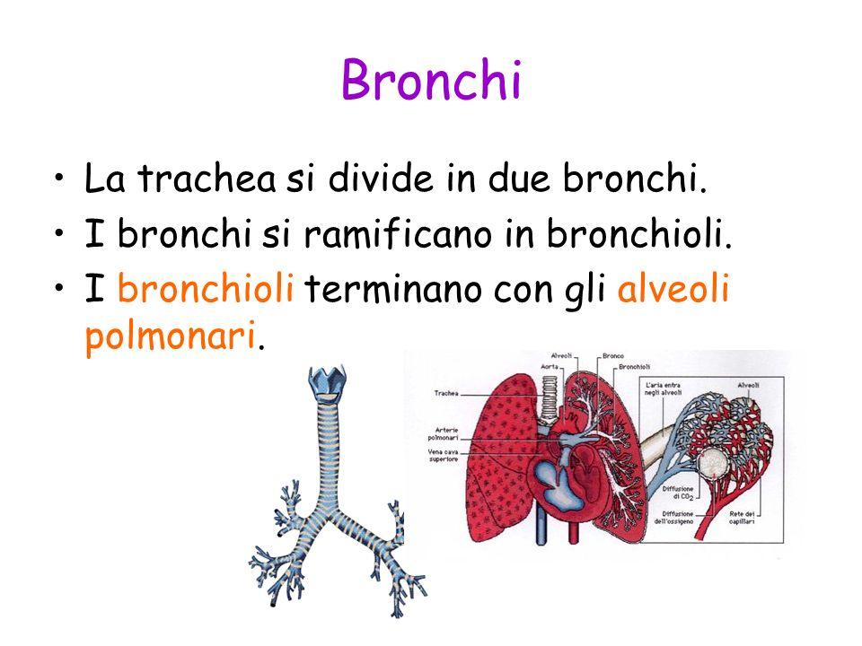 Bronchi La trachea si divide in due bronchi. I bronchi si ramificano in bronchioli. I bronchioli terminano con gli alveoli polmonari.