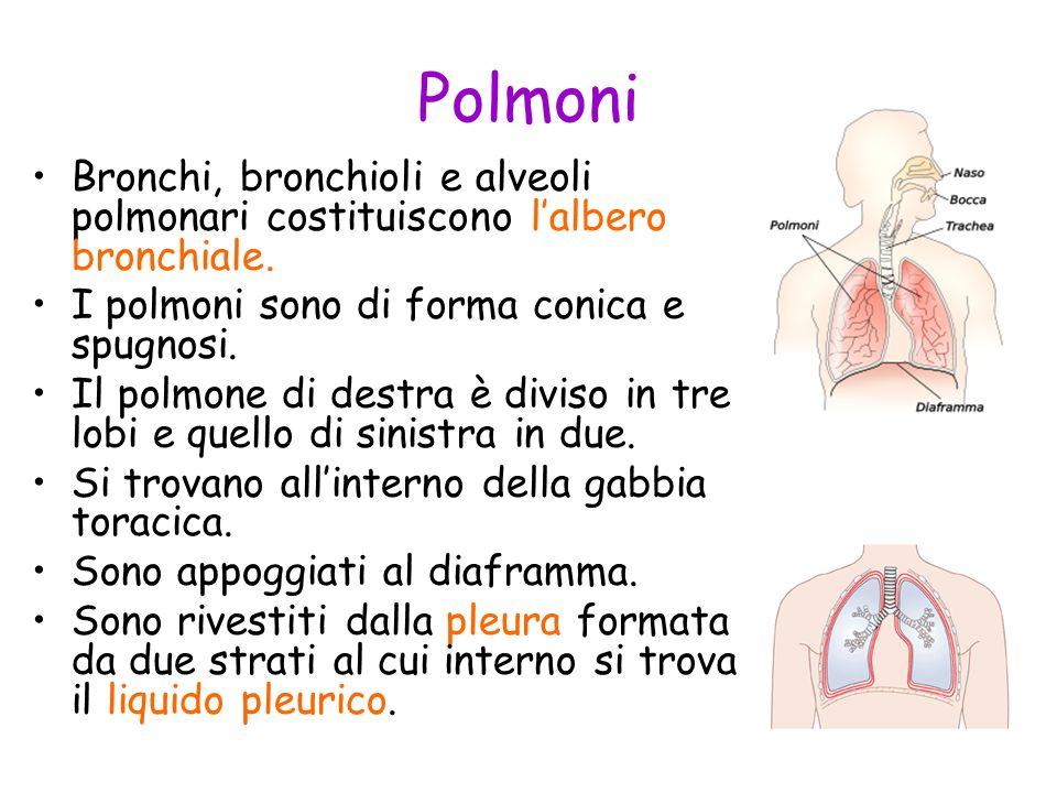 Polmoni Bronchi, bronchioli e alveoli polmonari costituiscono lalbero bronchiale. I polmoni sono di forma conica e spugnosi. Il polmone di destra è di