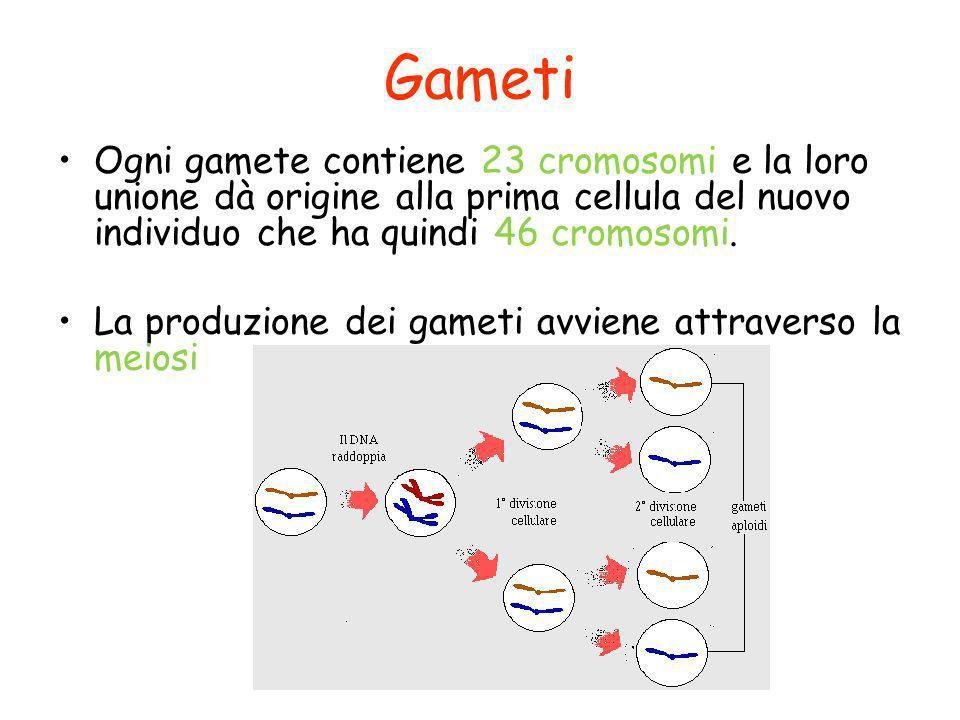 Gameti Ogni gamete contiene 23 cromosomi e la loro unione dà origine alla prima cellula del nuovo individuo che ha quindi 46 cromosomi. La produzione