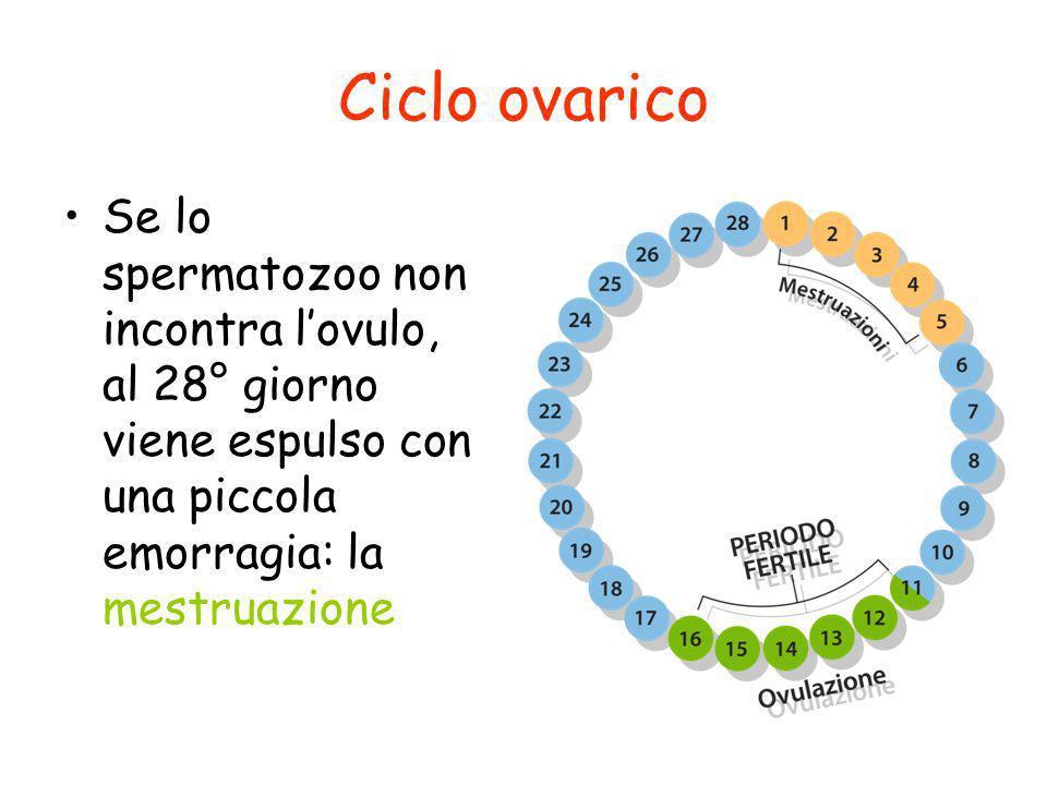 Ciclo ovarico Se lo spermatozoo non incontra lovulo, al 28° giorno viene espulso con una piccola emorragia: la mestruazione