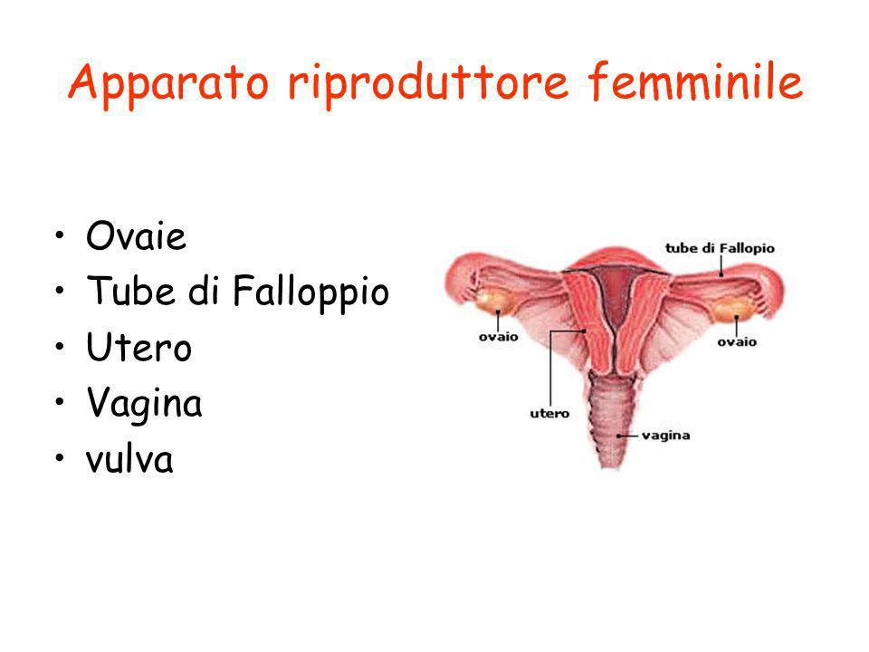 Apparato riproduttore femminile Ovaie Tube di Falloppio Utero Vagina vulva