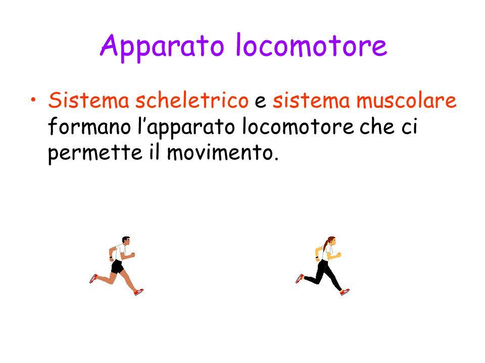 Sistema muscolare Formato da 600 muscoli permette il movimento; I muscoli sono gli organi attivi del movimento; Conferisce forma al corpo; Rende possibile altre funzioni come : digestione, respirazione, circolazione, ecc.