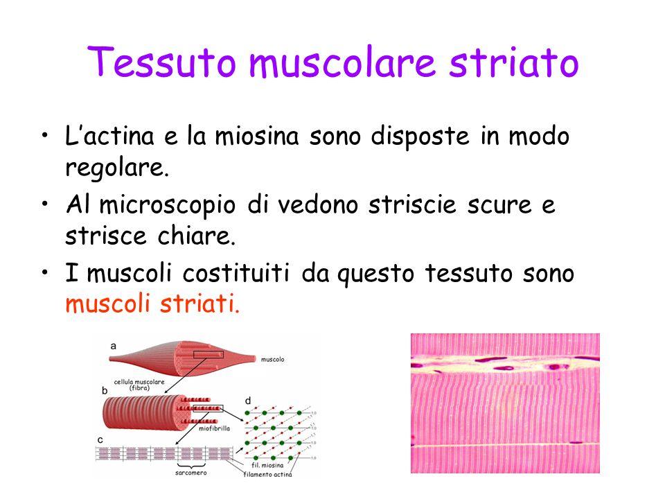 Tessuto muscolare striato Lactina e la miosina sono disposte in modo regolare. Al microscopio di vedono striscie scure e strisce chiare. I muscoli cos