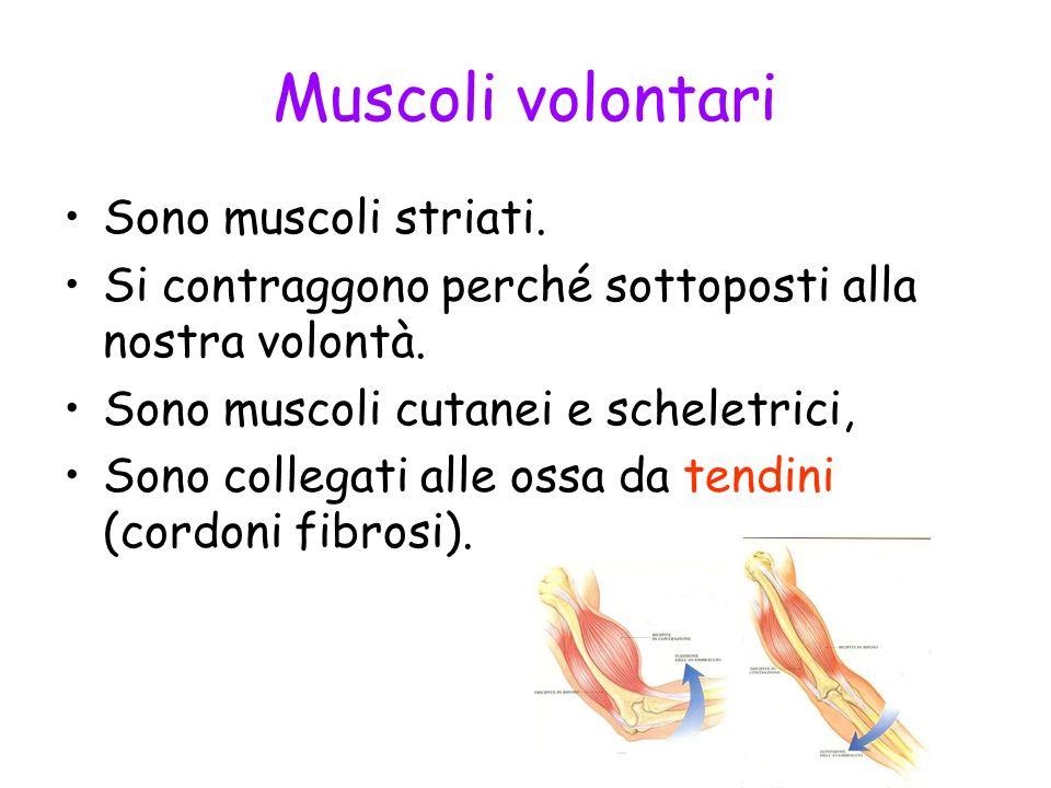Muscoli volontari Sono muscoli striati. Si contraggono perché sottoposti alla nostra volontà. Sono muscoli cutanei e scheletrici, Sono collegati alle