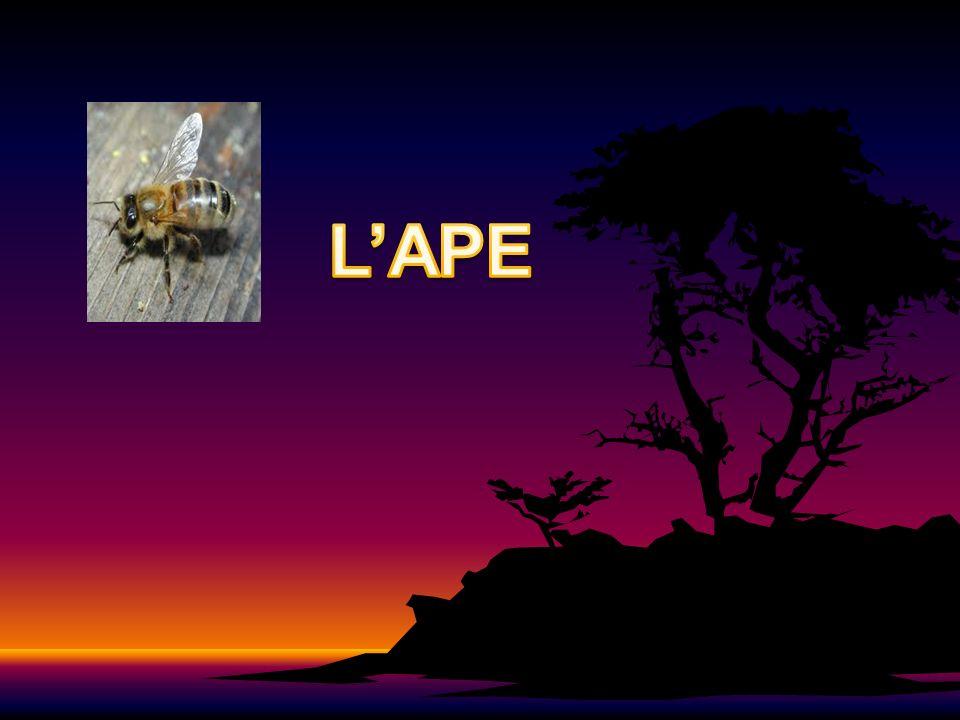 LA CLASSIFICAZIONE REGNO: animaliaREGNO: animalia ORDINE: hymenopteraORDINE: hymenoptera GENERE: apisGENERE: apis CLASSE: insectaCLASSE: insecta FAMIGLIA: apoideaFAMIGLIA: apoidea SPECIE: arthropodaSPECIE: arthropoda