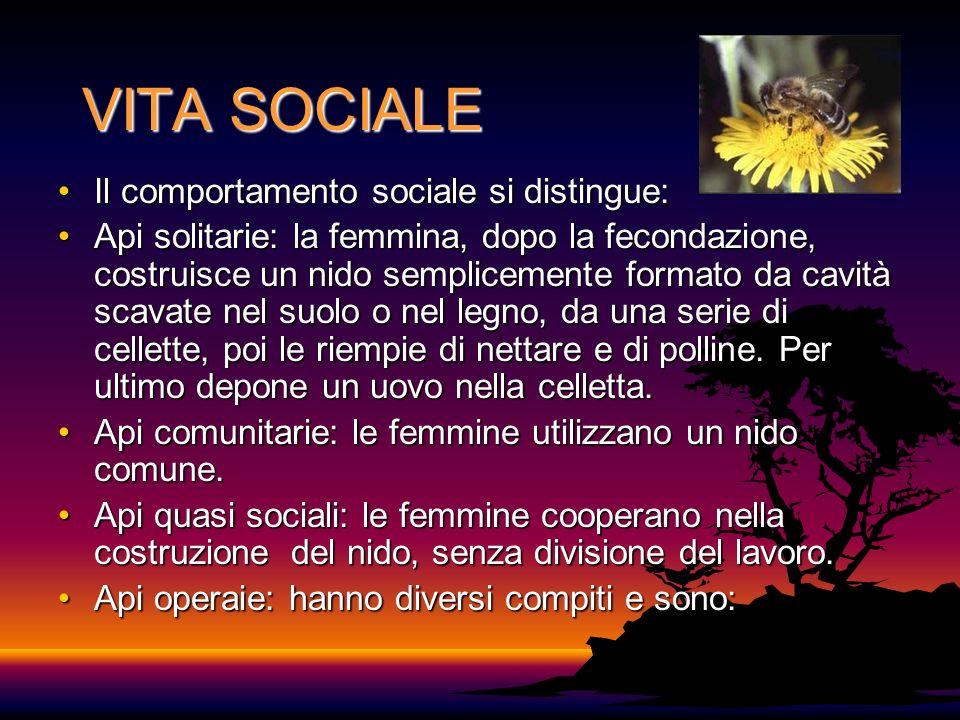 VITA SOCIALE Il comportamento sociale si distingue:Il comportamento sociale si distingue: Api solitarie: la femmina, dopo la fecondazione, costruisce