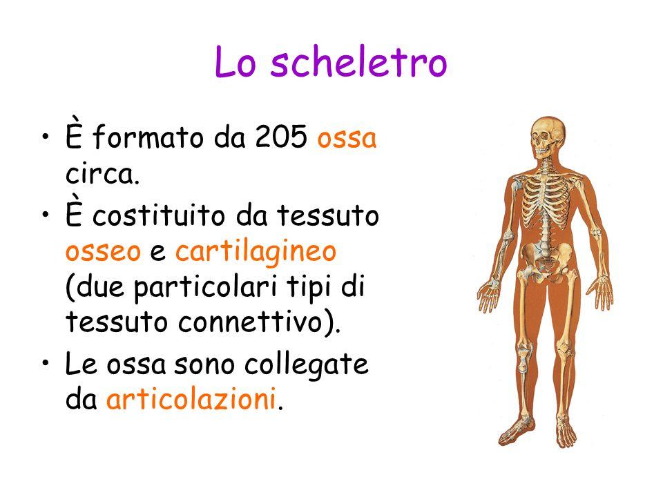 Lo scheletro È formato da 205 ossa circa. È costituito da tessuto osseo e cartilagineo (due particolari tipi di tessuto connettivo). Le ossa sono coll
