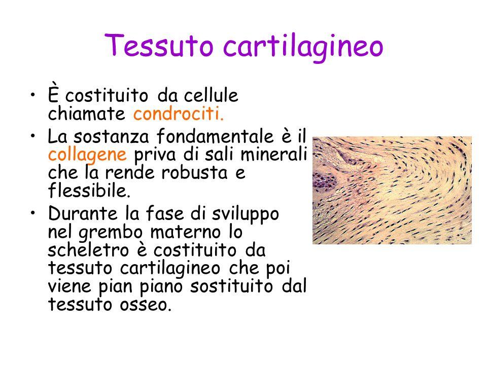 Tessuto cartilagineo È costituito da cellule chiamate condrociti. La sostanza fondamentale è il collagene priva di sali minerali che la rende robusta