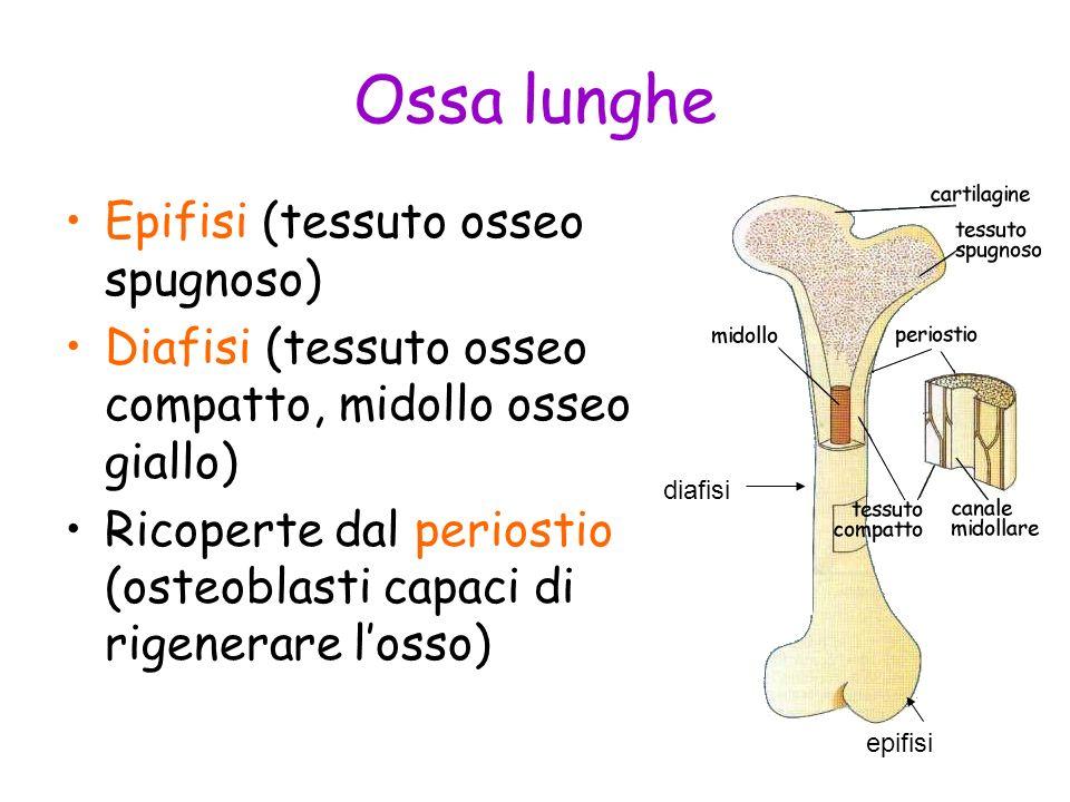 Ossa lunghe Epifisi (tessuto osseo spugnoso) Diafisi (tessuto osseo compatto, midollo osseo giallo) Ricoperte dal periostio (osteoblasti capaci di rig