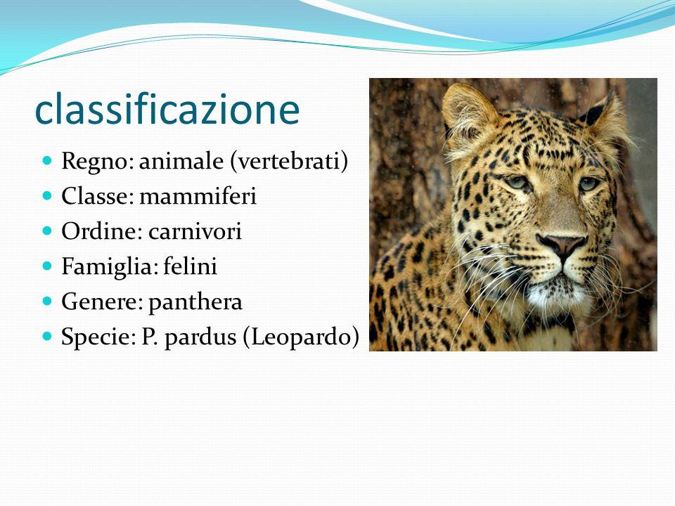classificazione Regno: animale (vertebrati) Classe: mammiferi Ordine: carnivori Famiglia: felini Genere: panthera Specie: P. pardus (Leopardo)
