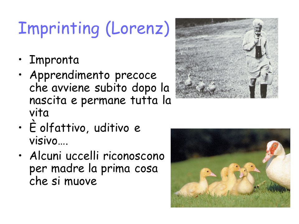Imprinting (Lorenz) Impronta Apprendimento precoce che avviene subito dopo la nascita e permane tutta la vita È olfattivo, uditivo e visivo…. Alcuni u