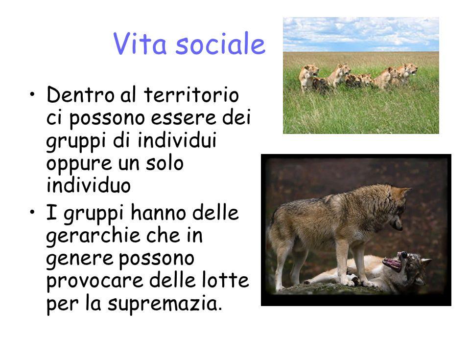 Vita sociale Dentro al territorio ci possono essere dei gruppi di individui oppure un solo individuo I gruppi hanno delle gerarchie che in genere possono provocare delle lotte per la supremazia.