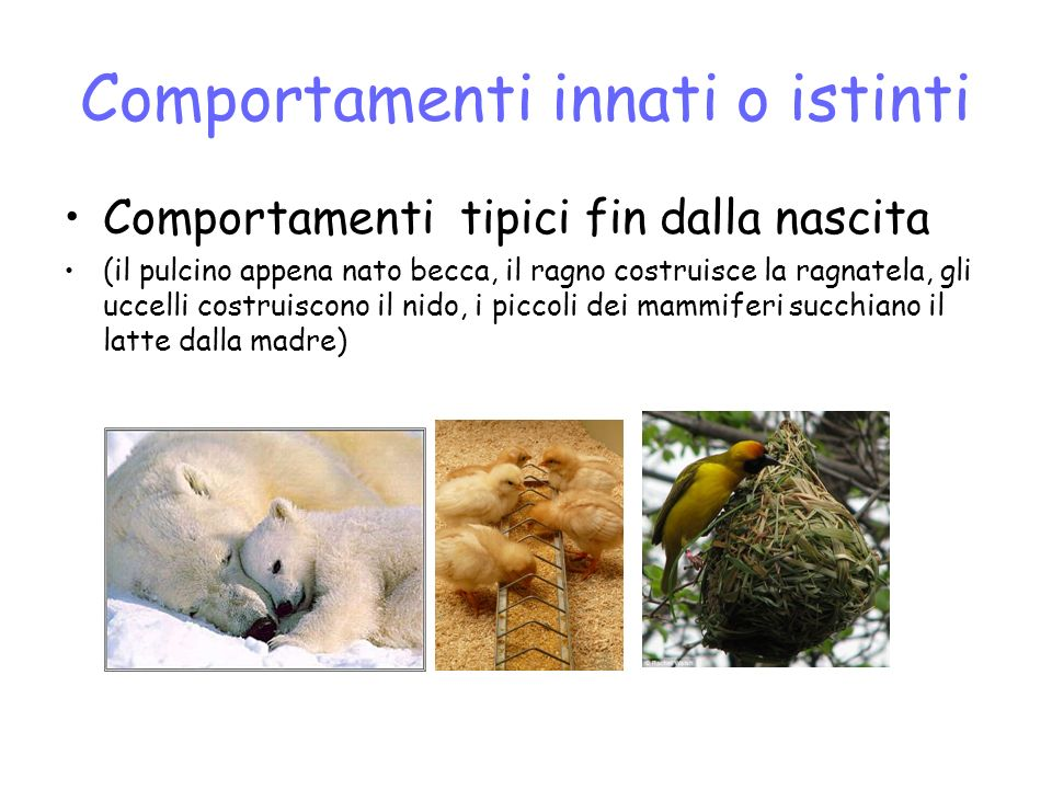 Comportamenti innati o istinti Comportamenti tipici fin dalla nascita (il pulcino appena nato becca, il ragno costruisce la ragnatela, gli uccelli costruiscono il nido, i piccoli dei mammiferi succhiano il latte dalla madre)