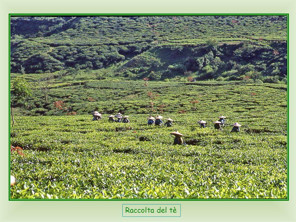 Isola di Giava, Puncak Pass, circa un ora di macchina a sud di Jakarta, zona di vacanze e weekend, famosa per il clima molto fresco, e per le magnifiche piantagioni di tè.