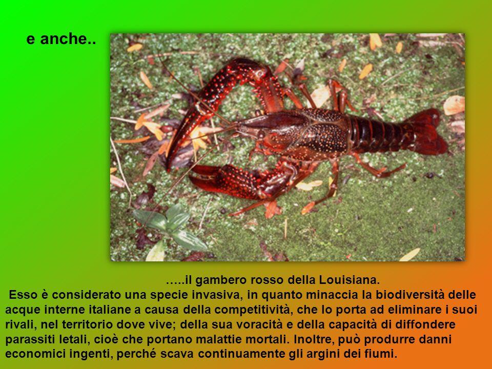 …..il gambero rosso della Louisiana. Esso è considerato una specie invasiva, in quanto minaccia la biodiversità delle acque interne italiane a causa d