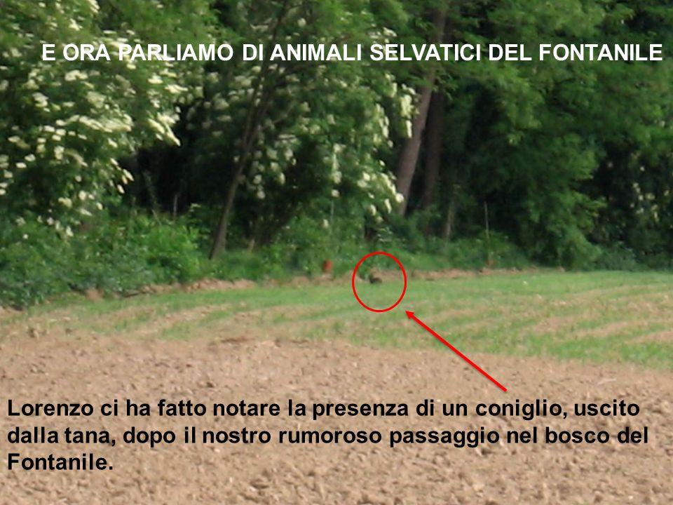 Lorenzo ci ha fatto notare la presenza di un coniglio, uscito dalla tana, dopo il nostro rumoroso passaggio nel bosco del Fontanile. E ORA PARLIAMO DI