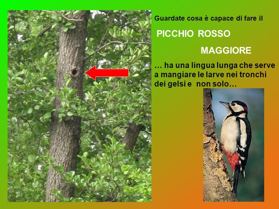 Guardate cosa è capace di fare il PICCHIO ROSSO MAGGIORE … ha una lingua lunga che serve a mangiare le larve nei tronchi dei gelsi e non solo…