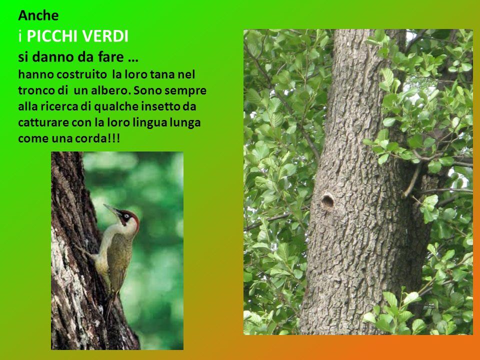 Anche i PICCHI VERDI si danno da fare … hanno costruito la loro tana nel tronco di un albero. Sono sempre alla ricerca di qualche insetto da catturare