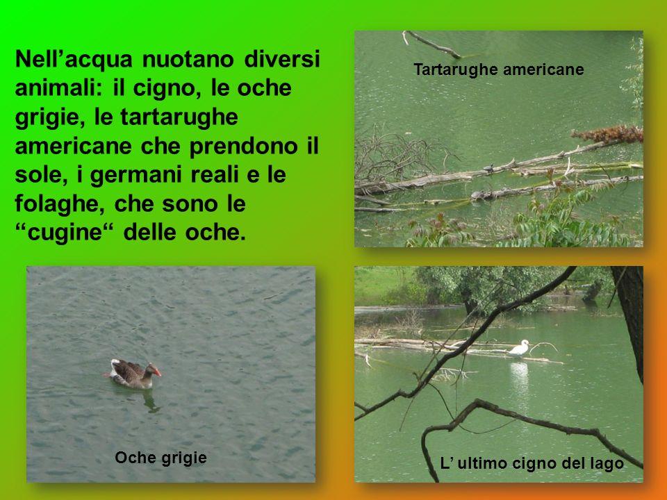 Nellacqua nuotano diversi animali: il cigno, le oche grigie, le tartarughe americane che prendono il sole, i germani reali e le folaghe, che sono le c