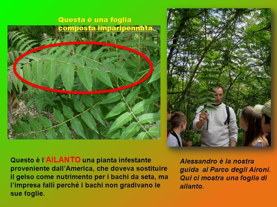 Questo è l AILANTO una pianta infestante proveniente dallAmerica, che doveva sostituire il gelso come nutrimento per i bachi da seta, ma limpresa fall