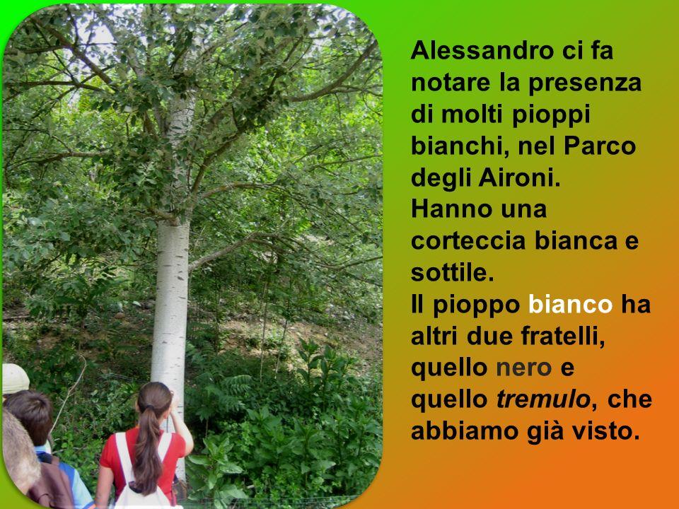 Alessandro ci fa notare la presenza di molti pioppi bianchi, nel Parco degli Aironi. Hanno una corteccia bianca e sottile. Il pioppo bianco ha altri d