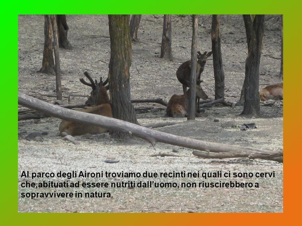 Al parco degli Aironi troviamo due recinti nei quali ci sono cervi che,abituati ad essere nutriti dalluomo, non riuscirebbero a sopravvivere in natura
